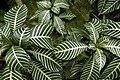Tanah Rata, Malaysia, Foliage.jpg