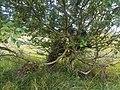 Taphrina betulina 46573248.jpg