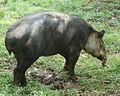 Tapirus bairdii (8974356042).jpg
