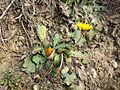 Taraxacum serotinum sl70.jpg