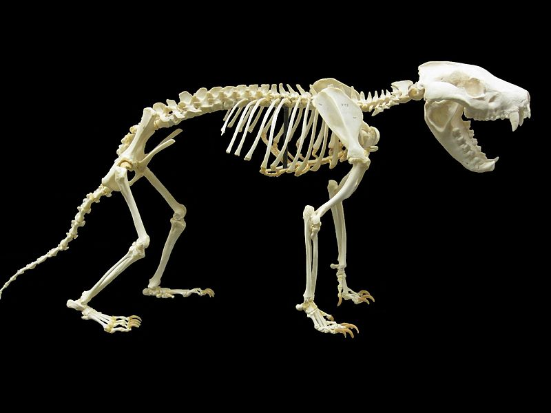 File:Tasmanian devil skeleton.jpg