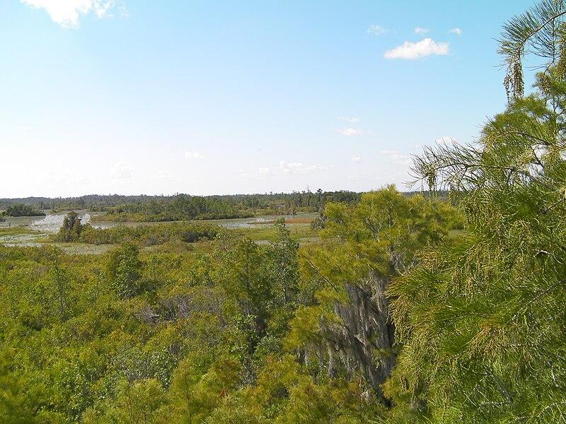 File:Taxodium ascendens Okefenokee 5.jpg