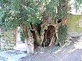 Teixo de Cereixido( Taxus bacata) Árbores senlleiras de Galicia - panoramio.jpg