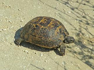 Greek tortoise species of reptile