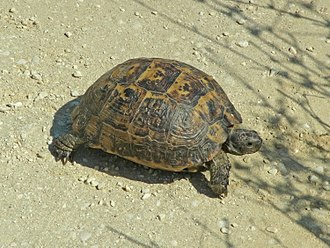 Spur-thighed tortoise - Photographed in Greece
