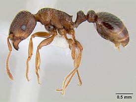 Дерновый муравей рабочий сбоку