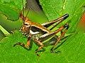 Tettigoniidae - Eupholidoptera chabrieri - young male..jpg