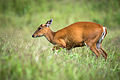 The Indian muntjac, muntiacus muntjak.jpg