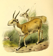 The book of antelopes (1894) Saiga tatarica.png