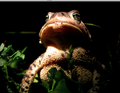 The most spectacular toad of the year. (6186973683).png