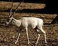 The name is Buck, White Buck (2487575997) (2).jpg