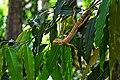 The oriental garden lizard.jpg