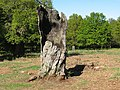 The pulpit tree, Richmond Park - geograph.org.uk - 1273661.jpg