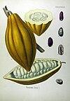 Theobroma cacao - Köhler–s Medizinal-Pflanzen-137.jpg