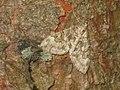 Thera variata - Spruce carpet - Ларенция хвойная изменчивая (39150077840).jpg
