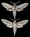 Theretra polistratus MHNT CUT 2010 0 103 New Guinea.jpg