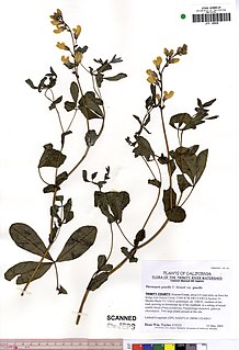 <i>Thermopsis gracilis</i> Species of legume
