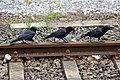 Three Carrion Crows, Germany (18870726908).jpg