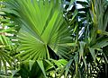 Thrinax Radiata (Florida Thatch Palm) (28893785065).jpg