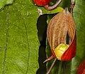 Thunbergia mysorensis, Jardín Botánico de Múnich, Alemania, 2013-05-04, DD 01.jpg