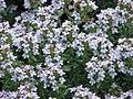 Herbatika-lekovito bilje  - Page 2 120px-Thymus_vulgaris0