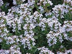 Resultado de imagen de flor tomillo