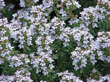 Species: Thymus vulgaris Family: Lamiaceae Ima...