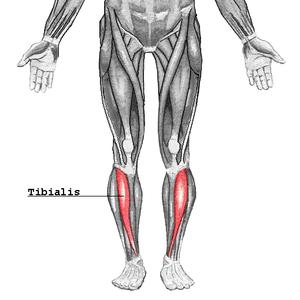 Svenska: Tibialis är en muskel som sitter på f...