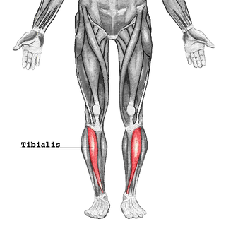 Tibialis anterior muscle Muscle in humans that originates along the upper two-thirds of the lateral surface of the tibia