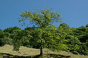 A Sweet Chestnut tree in Ticino, Switzerland