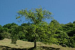 A Juglans regia tree in Ticino