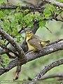 Tickell's Leaf Warbler (Phylloscopus affinis) (34194594174).jpg