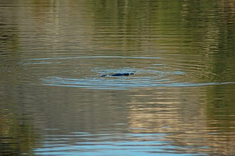 Tidbinbilla Nature Reserve - Image: Tidbinbilla platypus