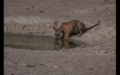 Tiger in Ranthambore 24.png