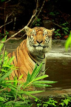 Tigerfrombondla2.jpg