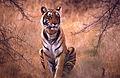 Tigress (Panthera tigris) (19635809660).jpg