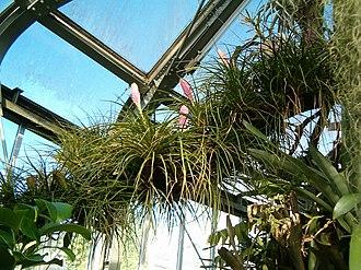 Tillandsia cyanea - Image: Tillandsia cyanea cyanea Habitus Inflorescences Bot Gard Bln 1006a