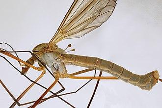 Tipula paludosa - Image: Tipula paludosa, Trawscoed, North Wales, Aug 2015 (23388703162)