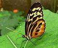 Tithorea harmonia. Harmonia Tiger-wing. - Flickr - gailhampshire.jpg