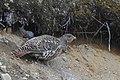 Tjäder Western Capercaillie (20163774989).jpg
