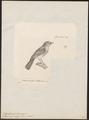 Todirostrum diops - 1700-1880 - Print - Iconographia Zoologica - Special Collections University of Amsterdam - UBA01 IZ16500281.tif