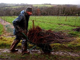 St Mabyn - Tom Bray planting apple trees
