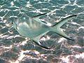 Trachiotus bailloni Maldives 2.jpg