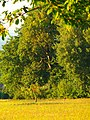 Tree In Late Summer - panoramio.jpg