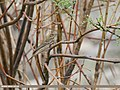 Tree Pipit (Anthus trivialis) (31897127938).jpg