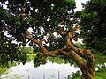 Tree natore rajbari.jpg