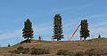 """Tree pruning 1 """"Pseudopinus telephoneyensis"""".jpg"""