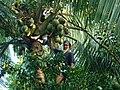 Trees Bangladesh (3).JPG