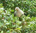 Treron calvus glaucus, in vyeboom, d, Pretoria.jpg