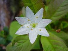 Trientalis europaea2.jpg